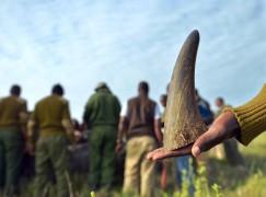 用 3D 打印犀牛角來打擊非法捕獵!?