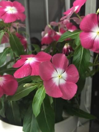 接手一星期後,開花數量明顯增加,另外亦開出新蕾。