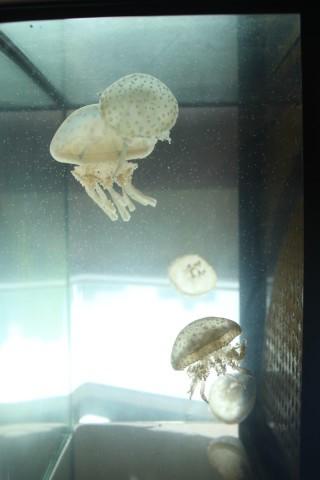 野生八爪水母是同學們 在大尾篤捕獲,他們表示 外出體驗,與書本知識差 別很大,印像也更深刻。 (拍攝者:趙婉珍)