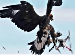 麻鷹捉機仔 法國訓練獵鷹捕獵無人機