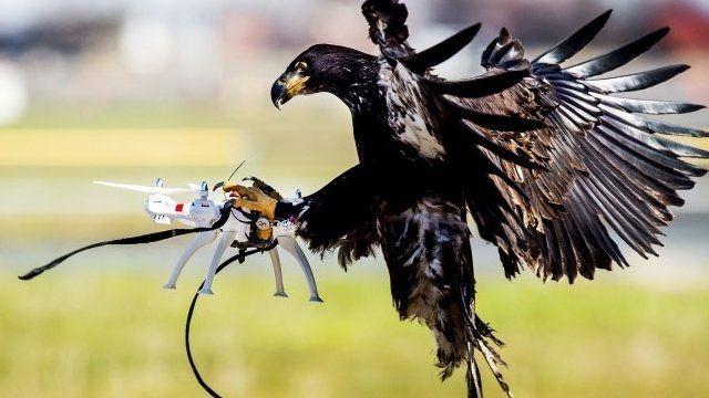 歐洲多個國家都計劃訓練動物去對付無人機。