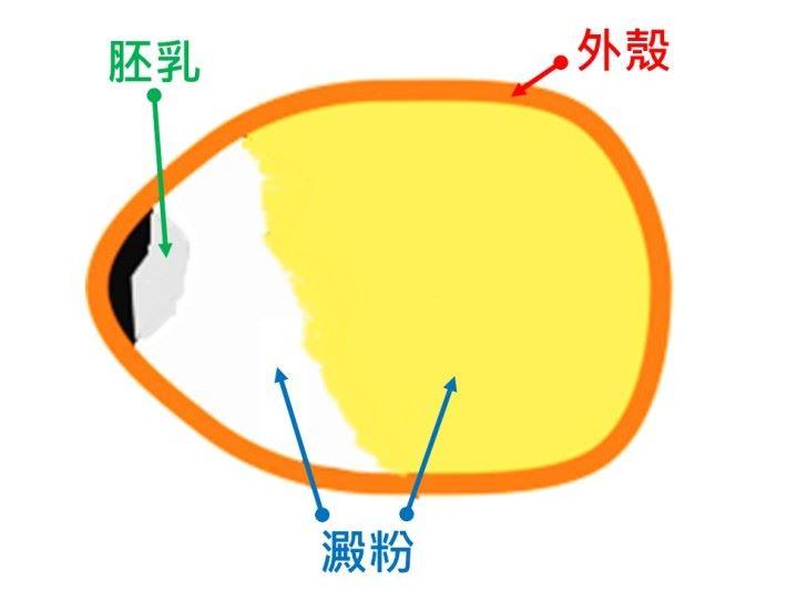 粟米粒的基本構造。