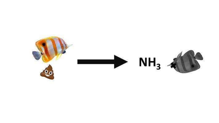 水族箱中生物的排泄物、未被進食的魚糧及一些死去的生物都是水族箱內廢物的來 源,這些廢物最終生成氨(Ammonia, NH3),氨會對水中生物造成致命的影響。