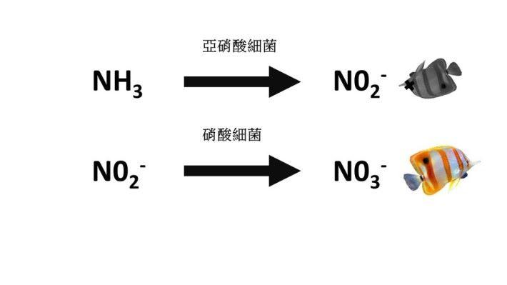 硝化系統中的亞硝酸細菌能把氨先分解成毒性較低的亞硝酸鹽(Nitrite, NO2-),然後再由硝酸細菌把亞硝酸鹽分解成無毒的硝酸鹽(Nitrate, NO3-)。