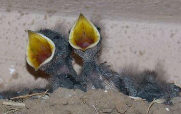 燕子養育幼兒的啟示