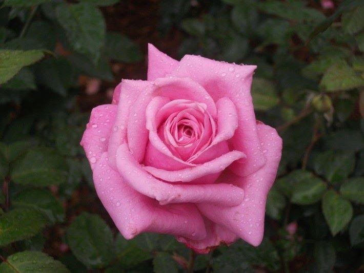 花類植物隨著加熱和冷卻能提取其有氣味和精華成為花水,可用作直接保濕,也經常用於成添加氣味用。