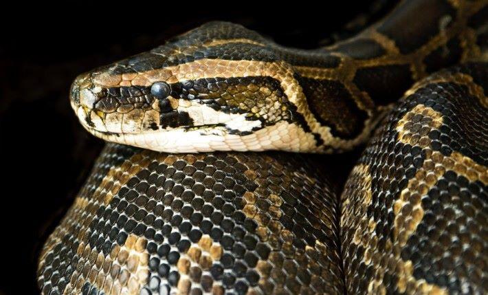 以蟒蛇為例,其特徵之一是有頰窩,能藉此探測熱能。