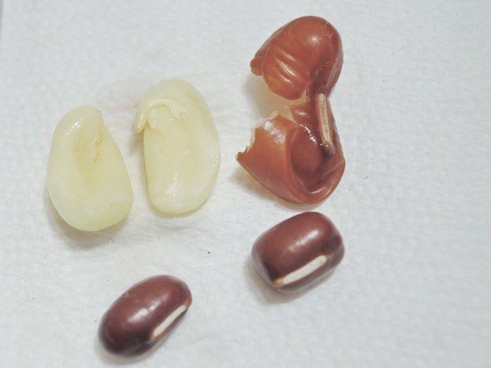 紅豆是種子的一種,外層有種皮包住內層的胚,胚儲存大量的澱粉質。